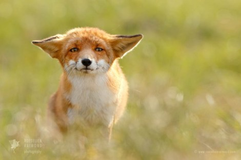 x1b9470_funny_fox1